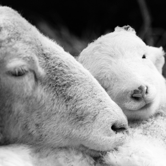 """Mother and baby sheep"" stock image"