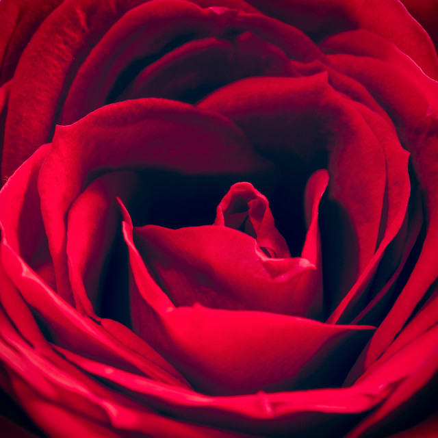 """Red Rose Close-up - square"" stock image"