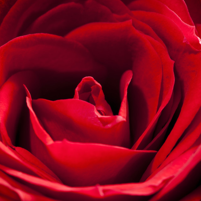 """Red Rose Close-up"" stock image"