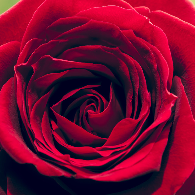 """Red Rose Close-up - square - Vintage film effect"" stock image"