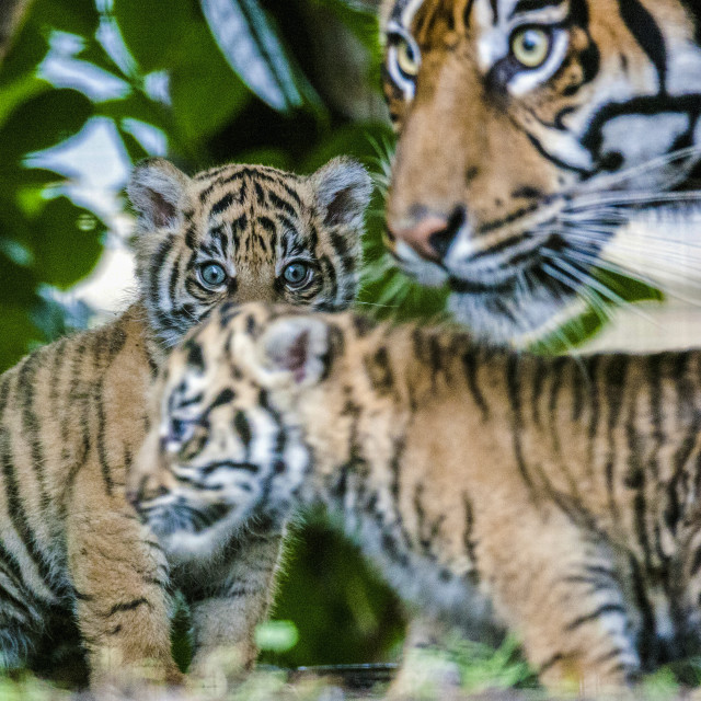 """Tiger Cubs"" stock image"