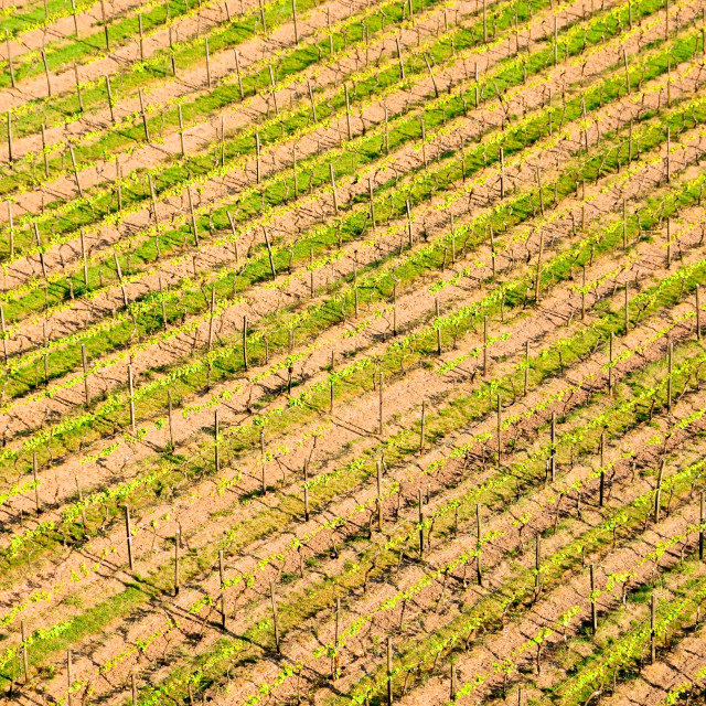 """Grape Vine in the Kraichgau, Germany"" stock image"