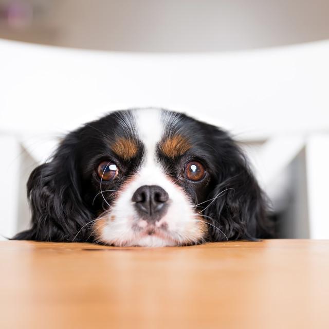 """""""dog begging"""" stock image"""
