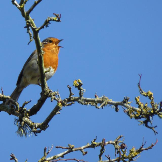 """Robin singing"" stock image"
