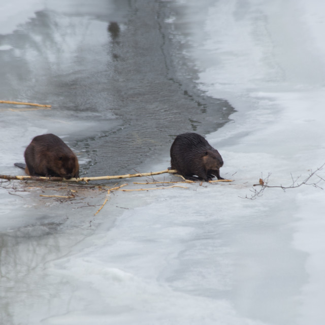 """""""Two Beavers on the Frozen River"""" stock image"""