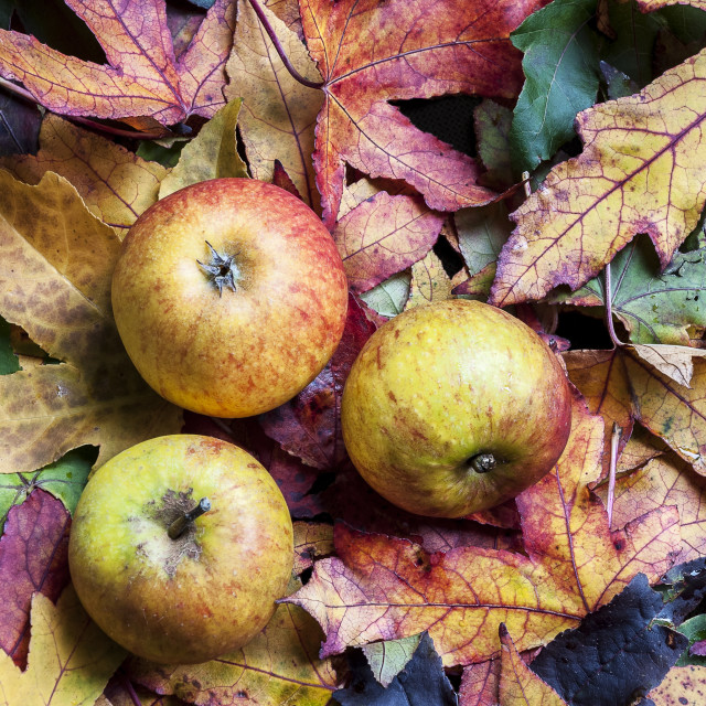 """Autumn apples and leaves."" stock image"