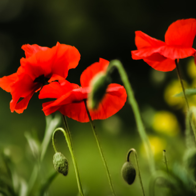 """Poppy"" stock image"