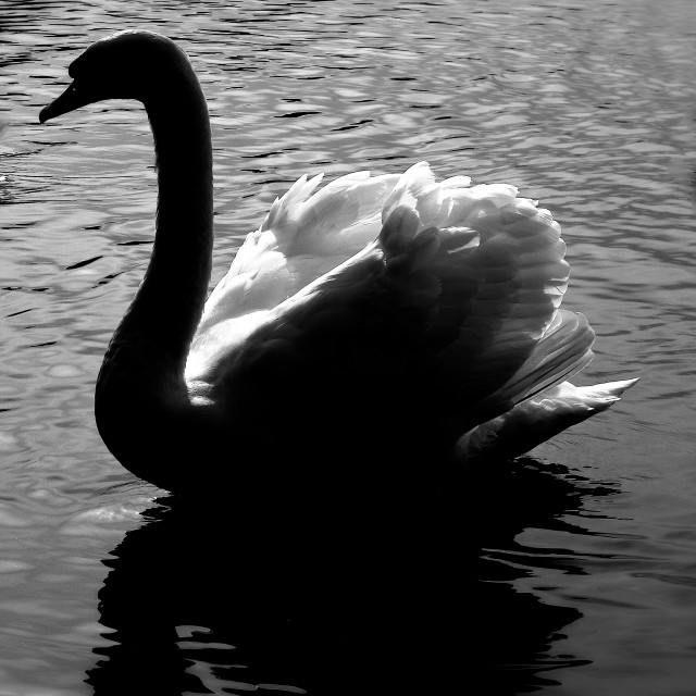 """Graceful Swan"" stock image"