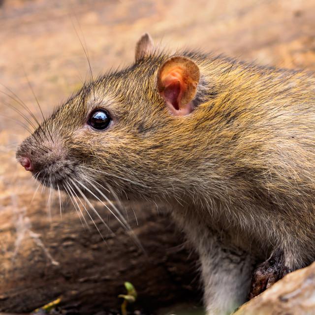 """Ratty Emerging"" stock image"