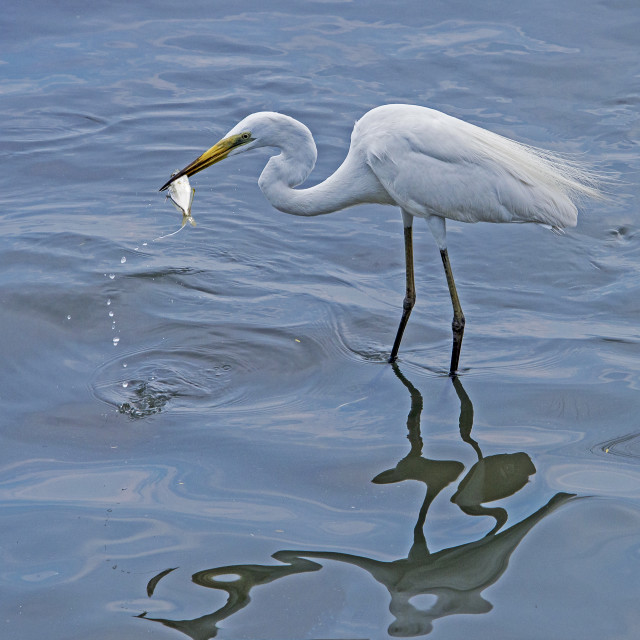 """Great Egret with a spot of lunch"" stock image"