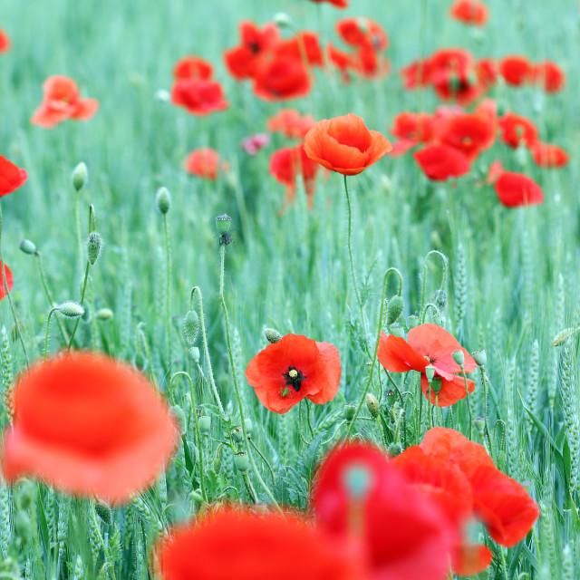 """poppies flower in green field spring season"" stock image"