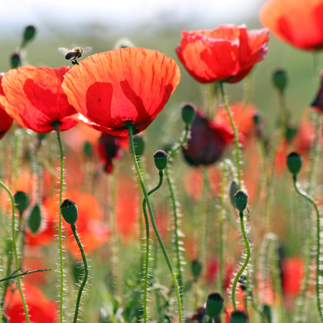 """""""bee and poppies flower spring season"""" stock image"""