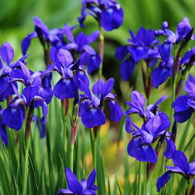 """""""Purple Iris"""" stock image"""