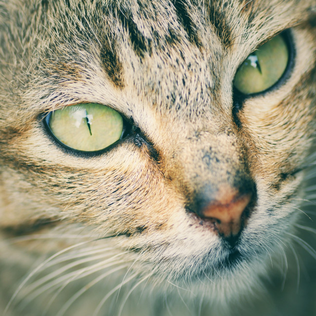 """Close up of cat eyes with vintage effect"" stock image"