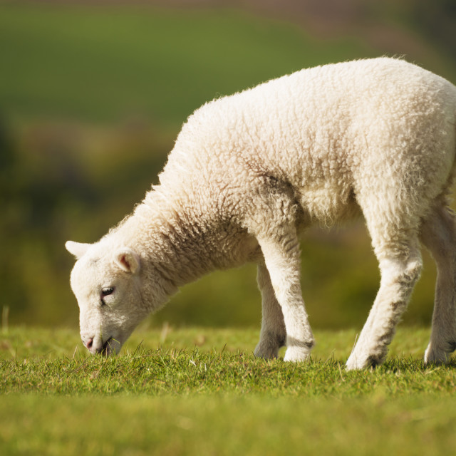 """Young Lamb grazing on fresh pasture."" stock image"