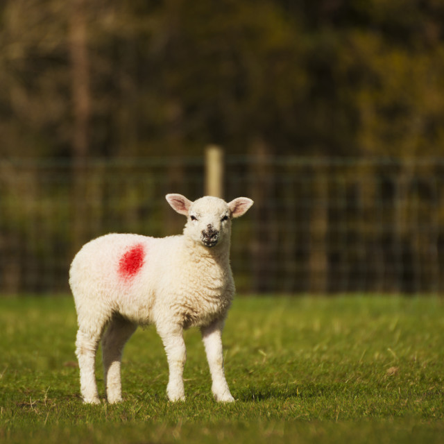 """Young Lamb"" stock image"