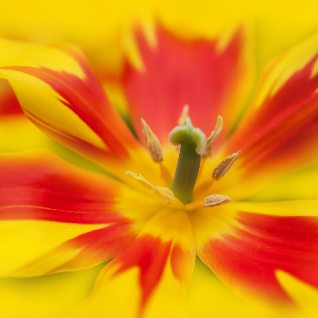 """""""Dappled yellow red tulip macro"""" stock image"""