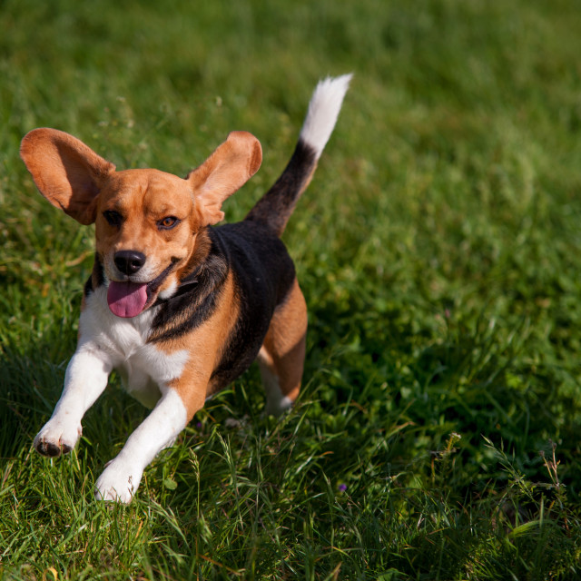 """Playful young Beagle running in grass"" stock image"