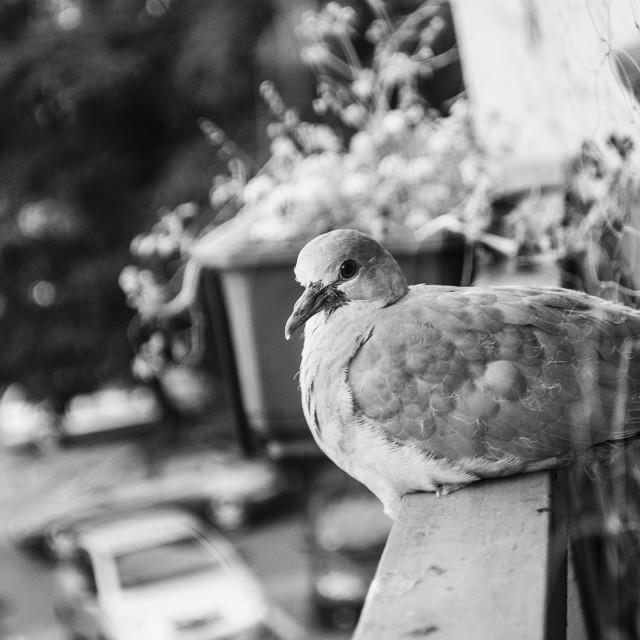 """""""Bird at balcony"""" stock image"""