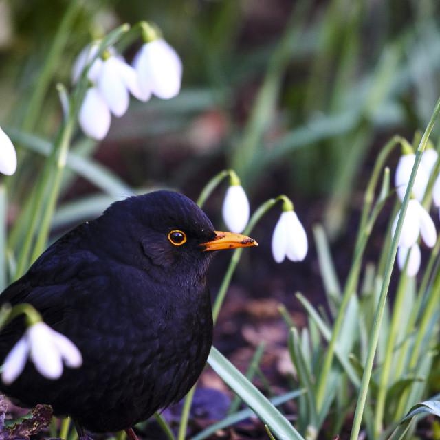 """Blackbird and snowdrops"" stock image"