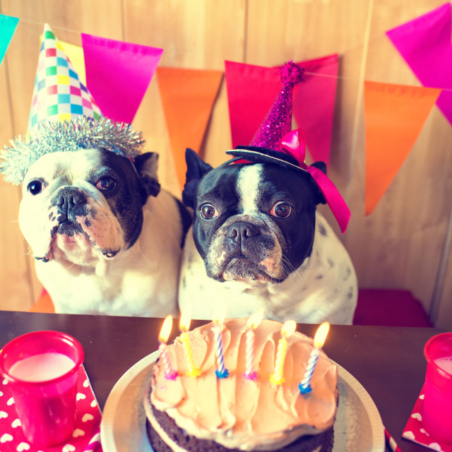 """Couple of dogs on birthday party"" stock image"