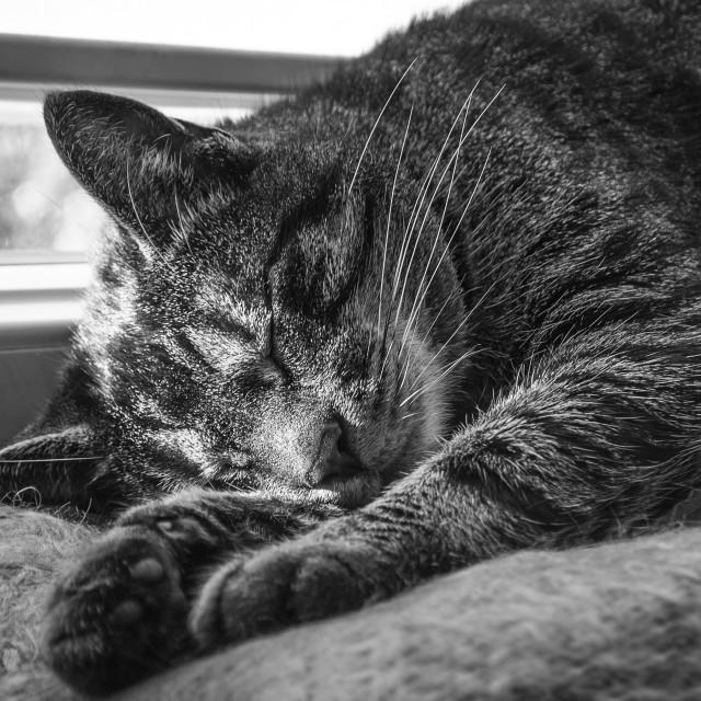 """Sleeping cat in b&w"" stock image"