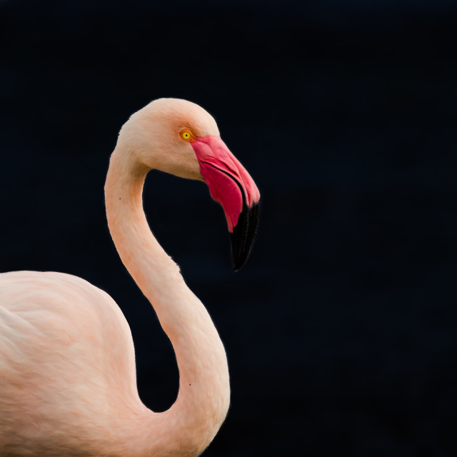 """blk flamingo"" stock image"