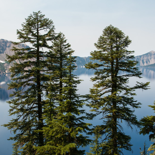 """""""Trees in front of Crater Lake"""" stock image"""