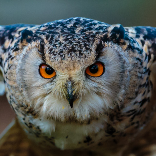 """Siberian Eagle Owl eyes of a Hunter"" stock image"