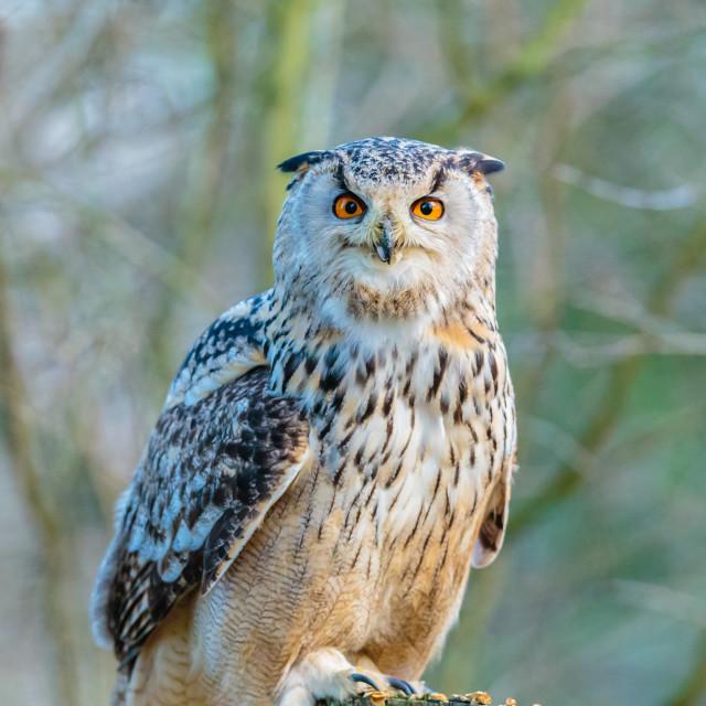 """""""Siberian Eagle Owl"""" stock image"""