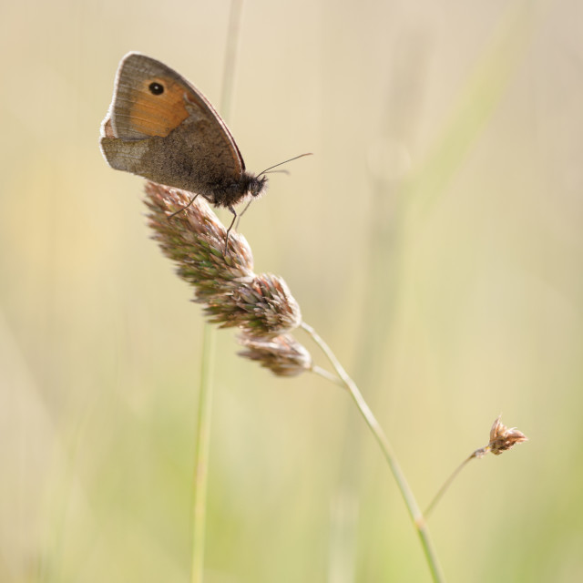 """Medow brown butterfly"" stock image"
