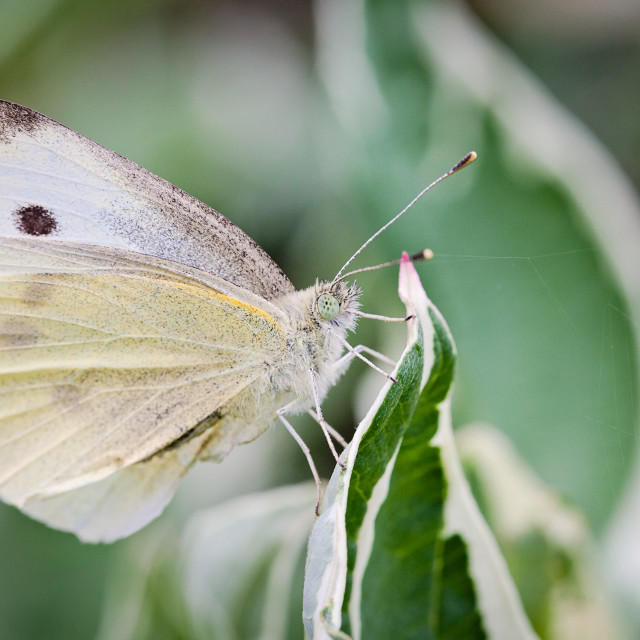 """Cabbage white butterfly"" stock image"