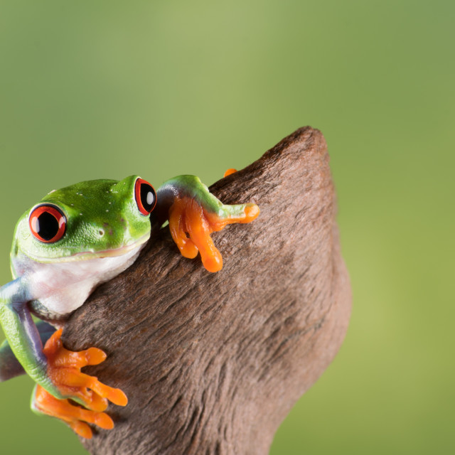 """Red Eye Tree frog"" stock image"