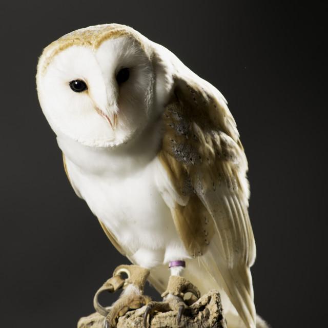 """Stuning Barn Owl"" stock image"