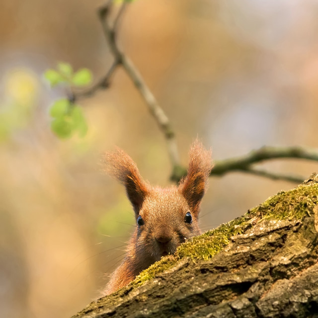 """Red squirrel in the forest"" stock image"