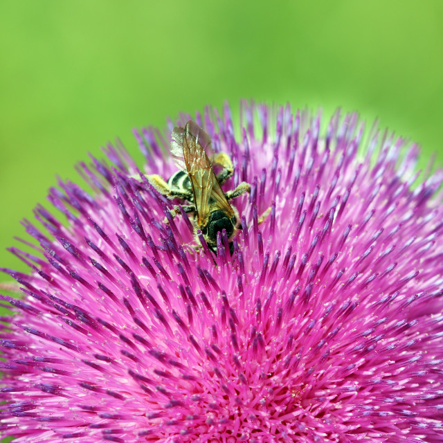 """""""bee collects nectar on purple flower"""" stock image"""