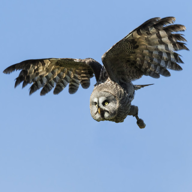 """Great Grey Owl in a blue sky"" stock image"