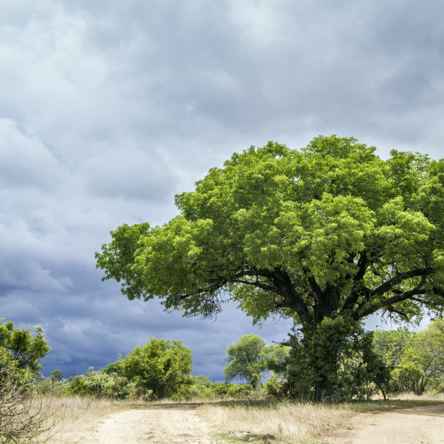 """Kruger National park landscape, South Africa"" stock image"