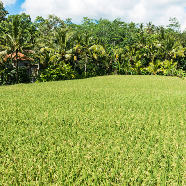 """Rice cultivation on Bali, Indonesia"" stock image"