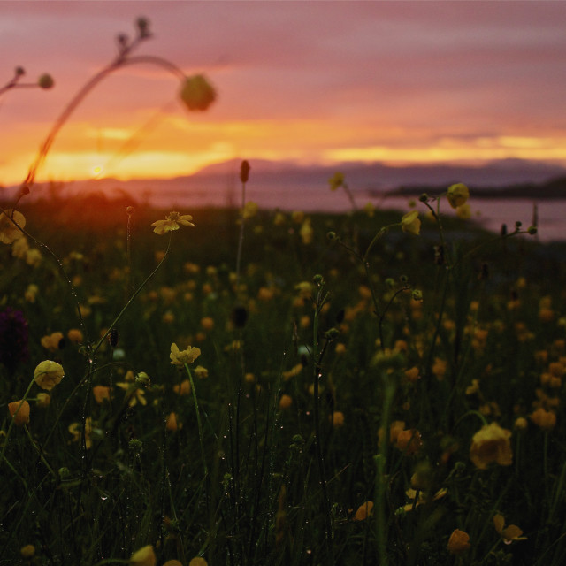 """Arisaig flowers at sunset"" stock image"