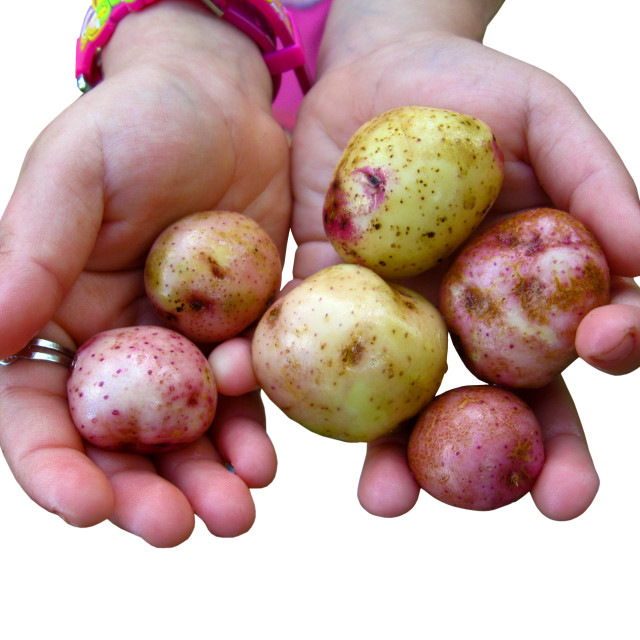 """""""childish hands with potatoes isolated"""" stock image"""