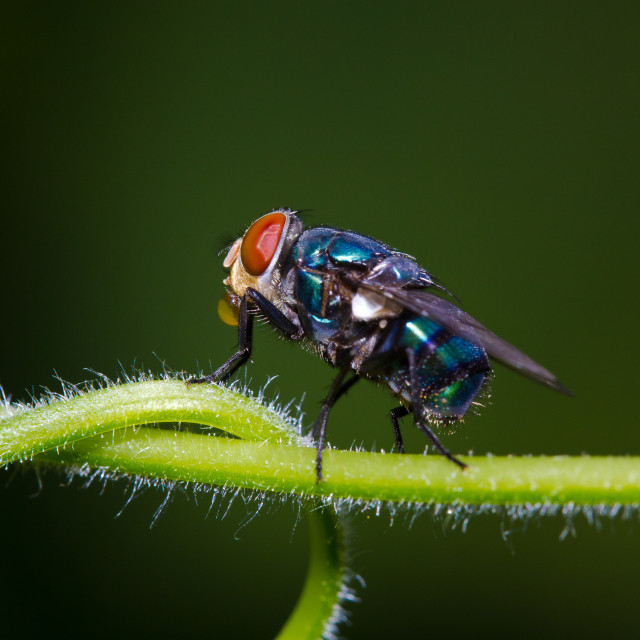 """Blue Bottle-Fly"" stock image"
