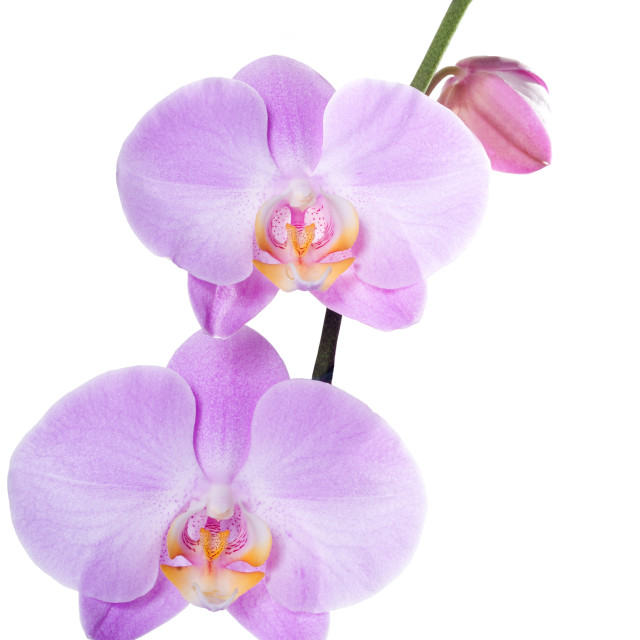 """Orchid phalaenopsis pink isolated"" stock image"