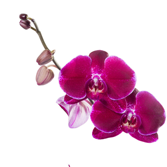 """Orchid phalaenopsis red isolated"" stock image"