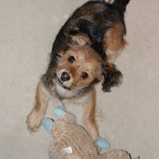 """""""Dog and toy."""" stock image"""
