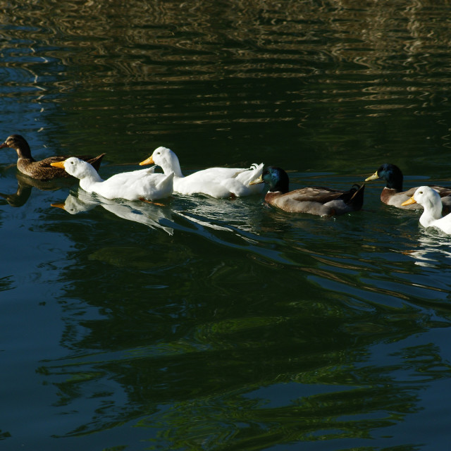 """""""A group of ducks."""" stock image"""