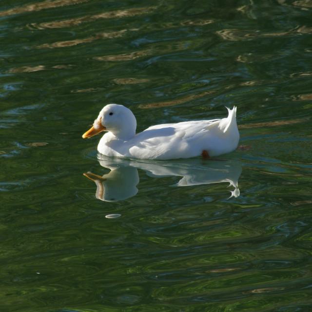 """White duck."" stock image"