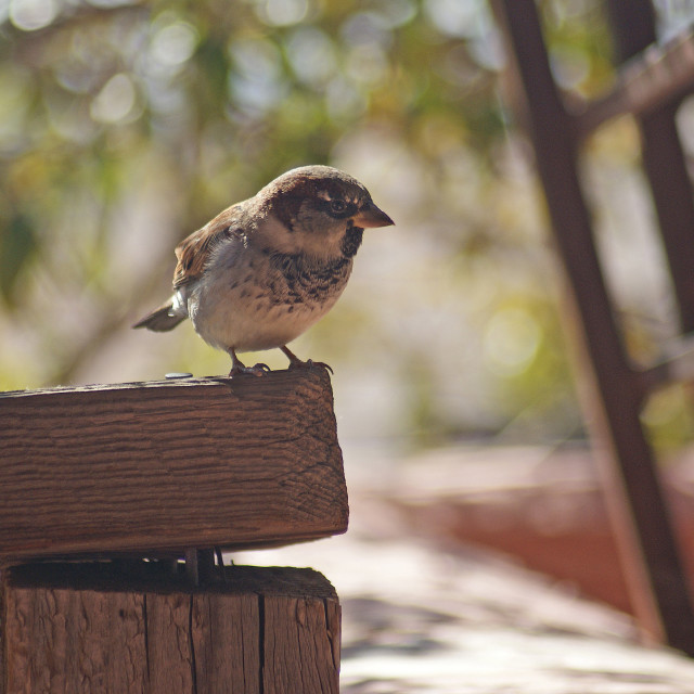 """Sparrow."" stock image"