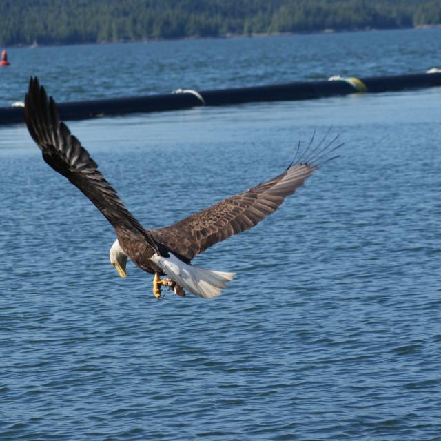 """""""Eagle."""" stock image"""