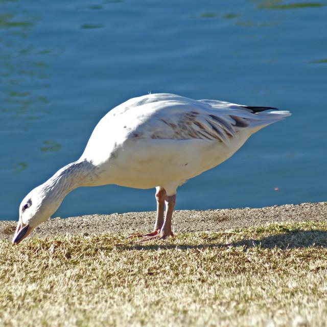 """White goose."" stock image"